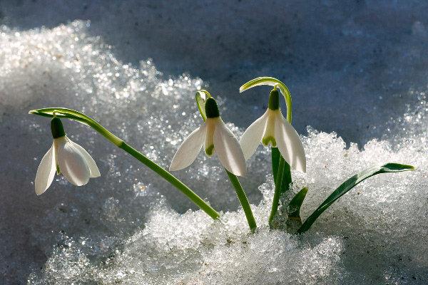 Campanilla de invierno