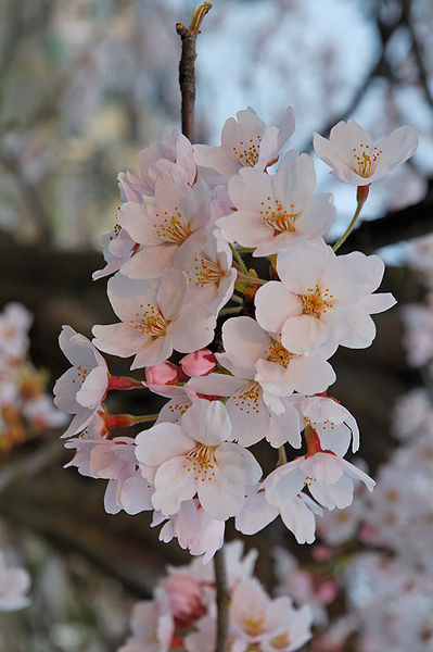 Sakura en Fukushima (GNU FDL. Wikimedia Commons)